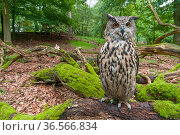 Eagle owl (Bubo bubo) adult perched on log. Captive, Netherlands. August 2011. Стоковое фото, фотограф Edwin Giesbers / Nature Picture Library / Фотобанк Лори