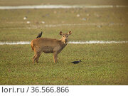 Sambar deer (Rusa unicolor) in marshy area, with house crow (Corvus splendens) on back, Keoladeo National Park, Utter Pradesh, India. Стоковое фото, фотограф Mary McDonald / Nature Picture Library / Фотобанк Лори
