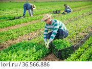 Portrait of man horticulturist picking green arugula on field. Стоковое фото, фотограф Яков Филимонов / Фотобанк Лори