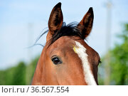 Araber Pferd, Portrait / Arabian horse, Portrait. Стоковое фото, фотограф Zoonar.com/Stan / easy Fotostock / Фотобанк Лори