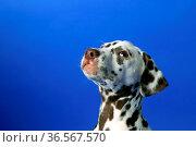 Dalmatinerwelpe auf blauem Hintergrund. Стоковое фото, фотограф Zoonar.com/Birgit Reitz-Hofmann / easy Fotostock / Фотобанк Лори