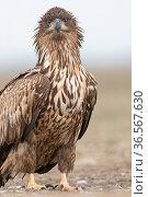 White-tailed eagle (Haliaeetus albicilla)immature Hortobagy National Park, Hungary January. Стоковое фото, фотограф David Tipling / Nature Picture Library / Фотобанк Лори