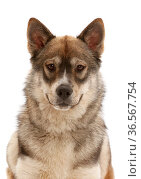 Husky-cross dog. Стоковое фото, фотограф Mark Taylor / Nature Picture Library / Фотобанк Лори