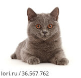 Blue British Shorthair kitten lying down. Стоковое фото, фотограф Mark Taylor / Nature Picture Library / Фотобанк Лори