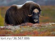 Muskox (Ovibos moschatus), male portrait. Dovrefjell National Park, Norway. Стоковое фото, фотограф Staffan Widstrand / Nature Picture Library / Фотобанк Лори