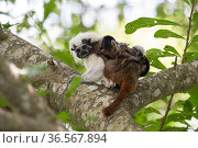 Cotton-top tamarin (Saguinus oedipus), adult carrying two week old twin babies on back. Northern Colombia. Стоковое фото, фотограф Suzi Eszterhas / Nature Picture Library / Фотобанк Лори