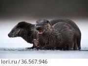 Eurasian otter (Lutra lutra) pair with Common frog (Rana temporaria) prey. Tartumaa, Southern Estonia. January. Стоковое фото, фотограф Sven  Zacek / Nature Picture Library / Фотобанк Лори
