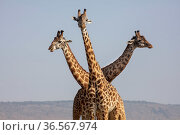 Masai giraffe (Giraffa camelopardalis tippelskirchi), three standing with heads facing in different directions. Masai Mara National Reserve, Kenya. September. Стоковое фото, фотограф Pal Hermansen / Nature Picture Library / Фотобанк Лори