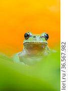 Lemon-yellow tree frog (Hyla savignyi) looking at camera, portrait. Cyprus. April. Стоковое фото, фотограф Edwin Giesbers / Nature Picture Library / Фотобанк Лори