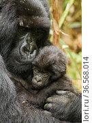 Adult Mountain gorilla (Gorilla beringei beringei) holding baby , Hirwa group, Volcanoes National Park, Rwanda. Стоковое фото, фотограф Mary McDonald / Nature Picture Library / Фотобанк Лори
