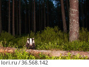 European badger (Meles meles) in Pine (Pinus sp) woodland at night. Glenfeshie, Cairngorms National Park, Scotland, UK. Стоковое фото, фотограф SCOTLAND: The Big Picture / Nature Picture Library / Фотобанк Лори