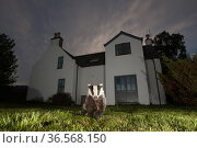European badger (Meles meles) in front of house at night, Glenfeshie, Cairngorms National Park, Scotland, UK. Стоковое фото, фотограф SCOTLAND: The Big Picture / Nature Picture Library / Фотобанк Лори
