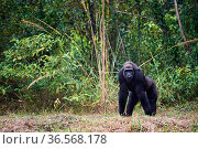 Western lowland gorilla (Gorilla gorilla gorilla) female aged 12 years exploring new habitat following release onto habituation island. Reintroduction... Стоковое фото, фотограф Eric Baccega / Nature Picture Library / Фотобанк Лори