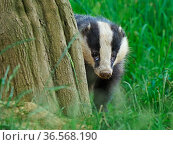 European badger (Meles meles) cub near sett. UK, July. Стоковое фото, фотограф Andy Rouse / Nature Picture Library / Фотобанк Лори