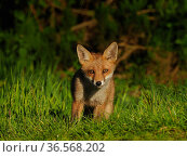 European red fox (Vulpes vulpes) cub in grassland. UK. June. Стоковое фото, фотограф Andy Rouse / Nature Picture Library / Фотобанк Лори
