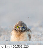 Burrowing owl (Athene cunicularia) chick, aged a few weeks, with downy crown in evening light. Marana, Arizona, USA. Стоковое фото, фотограф Jack Dykinga / Nature Picture Library / Фотобанк Лори