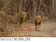 Asiatic lion (Panthera leo persica), two males standing amongst petals at side of track. Gir National Park, Gujarat, India. Photo© Phillip Ross/Felis Images. Стоковое фото, фотограф Felis Images / Nature Picture Library / Фотобанк Лори