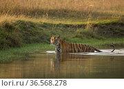 Bengal tiger (Panthera tigris) standing in water. Bandhavgarh National Park, Madhya Pradesh, India. Photo© Phillip Ross/Felis Images. Стоковое фото, фотограф Felis Images / Nature Picture Library / Фотобанк Лори