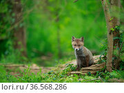 Red fox (Vulpes vulpes) cub sitting near den, in woodland. Yonne, Bourgogne-Franche-Comte, France. May. Стоковое фото, фотограф Cyril Ruoso / Nature Picture Library / Фотобанк Лори