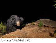 Sloth bear (Melursus ursinus) female carrying cub on back. Nilgiri Biosphere Reserve, India. Camera trap image. Стоковое фото, фотограф Yashpal Rathore / Nature Picture Library / Фотобанк Лори