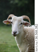 Wilsthire horn sheep with self shedding fleece, portrait. Surrey, England, UK. Стоковое фото, фотограф TJ Rich / Nature Picture Library / Фотобанк Лори