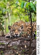 Wild Jaguar (Panthera onca), Endangered, Cuiabá River,Pantanal, Mato Grosso, Brazil. Стоковое фото, фотограф Gabriel Rojo / Nature Picture Library / Фотобанк Лори