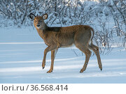 White-tailed deer (Odocoileus virginianus) fawn on snow covered pond. Acadia National Park, Maine, USA. January. Стоковое фото, фотограф George  Sanker / Nature Picture Library / Фотобанк Лори