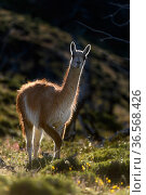 Guanaco (Lama guanicoe) standing on hillside, backlit. Torres del Paine National Park, Patagonia, Chile. December. Стоковое фото, фотограф Nick Garbutt / Nature Picture Library / Фотобанк Лори