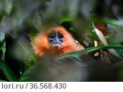 Orange backed red langur (Presbytis rubicunda chrysea) in rainforest understorey. Danum Valley, Sabah, Borneo, Malaysia. Стоковое фото, фотограф Nick Garbutt / Nature Picture Library / Фотобанк Лори