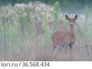 Roe deer (Capreolus capreolus) doe standing in grassland. Peerdsbos, Brasschaat, Belgium. July. Стоковое фото, фотограф Bernard Castelein / Nature Picture Library / Фотобанк Лори