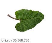 Лист лопуха войлочного (Arctium tomentosum) на белом фоне. Burdock leaf (Arctium tomentosum) on a white background. Стоковое фото, фотограф Евгений Романов / Фотобанк Лори