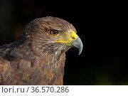 Wüstenbussard, Harris Hawk, Parabuteo unicinctus / Bay-winged Hawk... Стоковое фото, фотограф Zoonar.com/Pant / age Fotostock / Фотобанк Лори