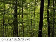 Bäume, Laub, frisches Grün, Wald. Стоковое фото, фотограф Zoonar.com/Gerd Herrmann / age Fotostock / Фотобанк Лори