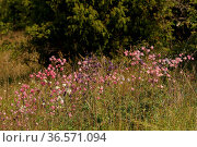 Akelei, Hoher Doernberg, NSG, Aquilegia vulgaris. Стоковое фото, фотограф Zoonar.com/Gerd Herrmann / age Fotostock / Фотобанк Лори