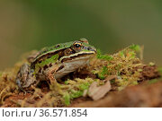 Teichfrosch, Moos, Pelophylax esculentus. Стоковое фото, фотограф Zoonar.com/Gerd Herrmann / age Fotostock / Фотобанк Лори