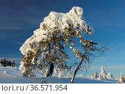 Winter, Schnee, Baum, blauer Himmel. Стоковое фото, фотограф Zoonar.com/Gerd Herrmann / age Fotostock / Фотобанк Лори