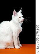 Sweet longhair cat breed Maine Shag Cat. Side view portrait on black and orange background. Стоковое фото, фотограф А. А. Пирагис / Фотобанк Лори