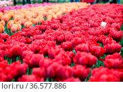 Group of red tulips in the park. Spring landscape. Стоковое фото, фотограф Zoonar.com/Yuri Dmitrienko / easy Fotostock / Фотобанк Лори
