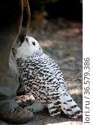 Eule in Burg und Festung Regenstein.Captive Snowy Owl (Nyctea scandiaca... Стоковое фото, фотограф Zoonar.com/Arvidas Saladauskas / age Fotostock / Фотобанк Лори