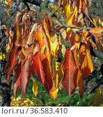 Herbstimpression, Kirschbaum, kirsche, Herbst. Стоковое фото, фотограф Zoonar.com/Manfred Ruckszio / age Fotostock / Фотобанк Лори