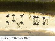 Flamingos (Phoenicopterus). Laguna del Saladar. Almansa. Albcete. Стоковое фото, фотограф Antonio Real / age Fotostock / Фотобанк Лори