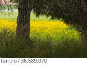 Wheat terraces with flowers. Almansa. Albacete. Стоковое фото, фотограф Antonio Real / age Fotostock / Фотобанк Лори