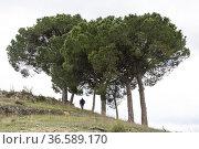 Stone pines (Pinus pinea). Rambla de Sugel. Almansa. Albacete Castilla... Стоковое фото, фотограф Antonio Real / age Fotostock / Фотобанк Лори