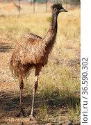 Emu, big bird of the Northern Territory, Australia. Стоковое фото, фотограф Zoonar.com/Alexander Ludwig / easy Fotostock / Фотобанк Лори
