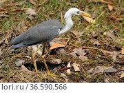White-necked heron, Kakadu National Park, Australia. Стоковое фото, фотограф Zoonar.com/Alexander Ludwig / easy Fotostock / Фотобанк Лори