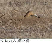 Black-footed ferret (Mustela nigripes) hunting with head down prairie dog burrow, Rocky Mountain Arsenal Wildlife Refuge, Colorado, USA. Стоковое фото, фотограф Charlie Summers / Nature Picture Library / Фотобанк Лори