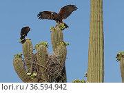 Harris hawk (Parabuteo unicinctus) parent visiting nest in Saguaro cactus (Carnegiea gigantea) Juvenile hawk about to fledge, Sonoran Desert, Arizona, USA. Стоковое фото, фотограф John Cancalosi / Nature Picture Library / Фотобанк Лори