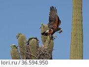 Harris hawk (Parabuteo unicinctus) parent visiting nest in Saguaro cactus (Carnegiea gigantea) with Spiny lizard (Sceloporus sp.) in beak. Juvenile hawk about to fledge, Sonoran desert, Arizona, USA. Стоковое фото, фотограф John Cancalosi / Nature Picture Library / Фотобанк Лори