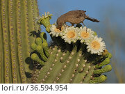 Curve-billed thrasher (Toxostoma curvirostre) feeding on nectar in Saguaro cactus (Carnegiea gigantea) blossom and the insects trapped in them, Sonoran Desert, Arizona, USA. Стоковое фото, фотограф John Cancalosi / Nature Picture Library / Фотобанк Лори