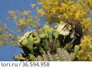 Gila woodpecker (Melanerpes uropygialis) feeding on Saguaro (Carnegiea gigantea) blossom nectar and the insects trapped in them, Sonoran Desert, Arizona, USA. Стоковое фото, фотограф John Cancalosi / Nature Picture Library / Фотобанк Лори